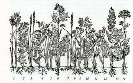 Рис. 3. Основные растения прирусловых пойменных лугов среднего уровня: 1 - костер безостый; 2 - подмаренник; 3 - лисохвост луговой; 4 - мышей гороховый; 5 - осока; 6 - порезник горный; 7 - пырей ползучий; 8 - девясил; 9 - колокольчик скученный; 10 - мятлик луговой; 11 - герань луговая; 12 - жеруха; 13 - щавель конский; 14 - борщевик сибирский.